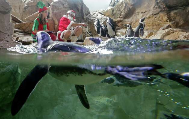 Santa Claus feeds the penguins at the Audubon Aquarium of the Americas in New Orleans, La., Friday, Dec. 21, 2012. Santa Claus here is also known as Tom Dyer, Senior Aviculturist at the aquarium. Photo: Dave Martin, Associated Press / AP