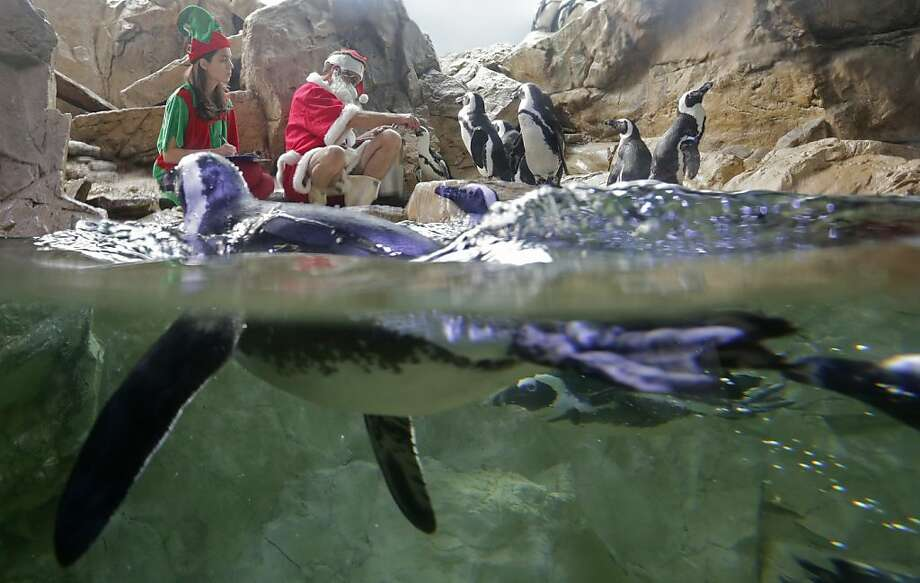Santa Claus feeds the penguins at the Audubon Aquarium of the Americas in New Orleans, La., Friday, Dec. 21, 2012. Santa Claus here is also known as Tom Dyer, Senior Aviculturist at the aquarium. Photo: Dave Martin, Associated Press