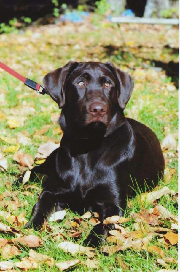 Toby is the dog park mascot contest winner. A two-year-old chocolate Labrador. Photo: Contributed Photo / The News-Times Contributed
