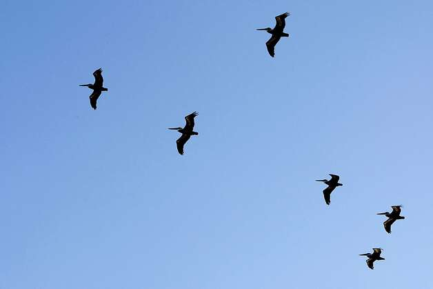 Pelicans fly over the marina at Fort Baker on December 19, 2012 in Sausalito, Calif.The National Park Service is interested in expanding the Marina and yacht club at Fort Baker to draw more people. Photo: Sean Havey, The Chronicle