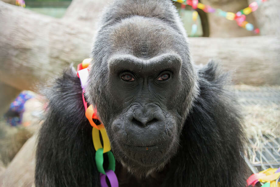 This photo provided by the Columbus Zoo and Aquarium shows 56-year-old Colo posing for a photo as she celebrates her birthday, Saturday, at the Columbus Zoo and Aquarium in Columbus, Ohio. Colo is the oldest gorilla in any zoo. She was born at the Columbus Zoo and Aquarium in 1956. Photo: AP