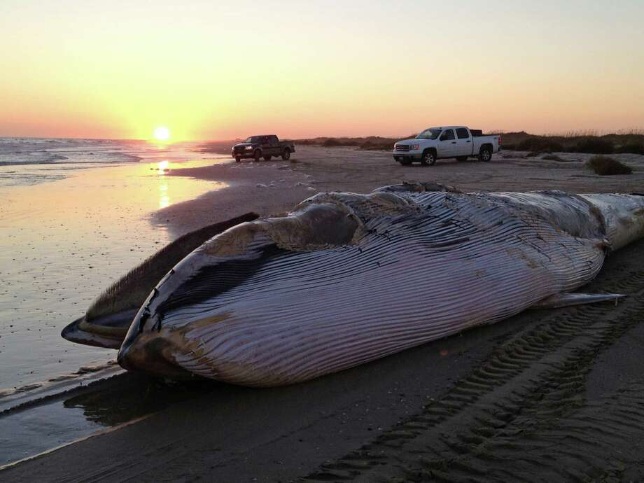 In this photo provided Tuesday by Texas Marine Mammal Stranding Network, a dead 43-foot whale is seen on a beach in Matagorda, Texas. The remains of the whale will stay on the sand as officials consider what to do with the carcass. TMMSN executive director Heidi Whitehead in Galveston said Friday that a necropsy has been completed on the male fin whale. No suspected cause of death was immediately released. Photo: AP