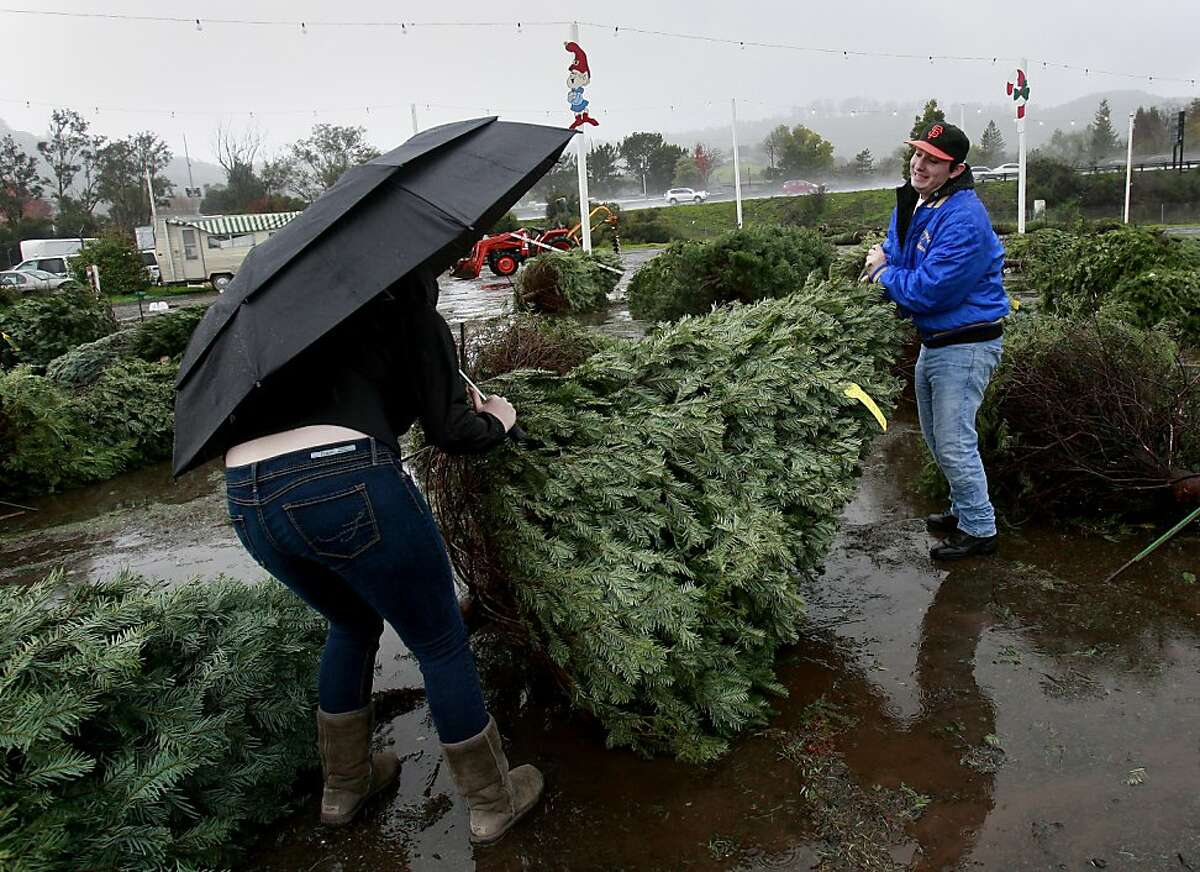 Vanessa Burns and Jackson Mercer (right) struggled to right a Christmas tree at the Pronzini tree lot in Terra Linda. All the trees were blown down in the winds. A strong winter storm brought high winds to the Bay Area Sunday December 23, 2012 on one of the last shopping days before Christmas.