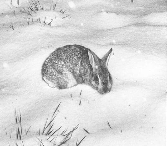 A wild cottontail rabbit looks for his nest after a snow storm hit San Antonio on Feb. 22, 1966. It couldn't find its home, gave up and spent the night in this spot. Photo: San Antonio Express-News File Photo