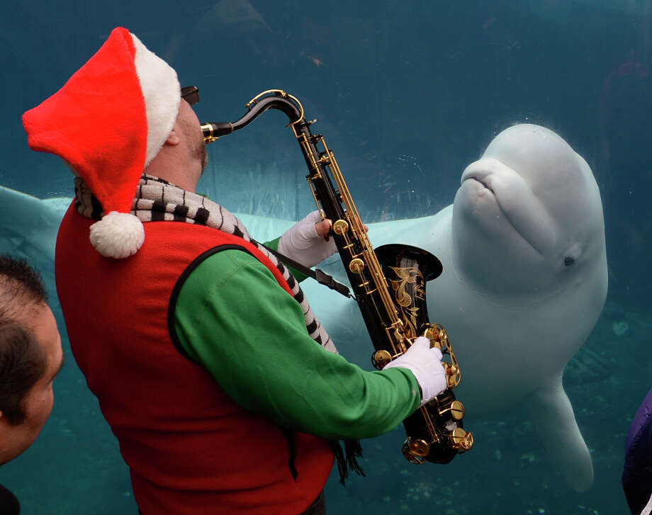 A beluga arrives to check out some holiday music at the Mystic Aquarium in Mystic, Conn., earlier this month. The Winter Waterland festivities continue through Tuesday, Jan. 1, 2013. For more information, visit htpp://www.mysticaquarium.org or call 860-572-5955. Contributed photo/Abigail Pheiffer Photo: Contributed Photo / Stamford Advocate Contributed