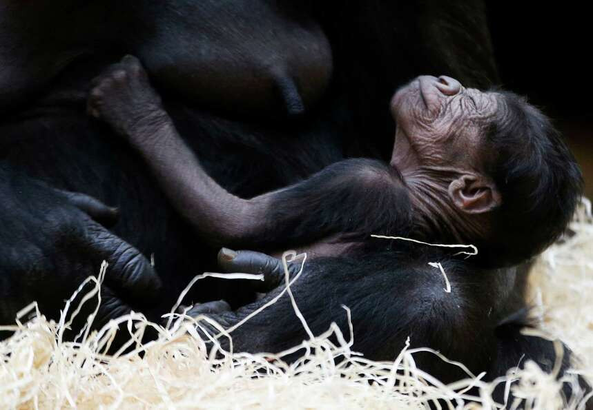Gorilla Kijivu holds her newborn baby at the Zoo in Prague, Czech Republic, Sunday, Dec. 23, 2012. K