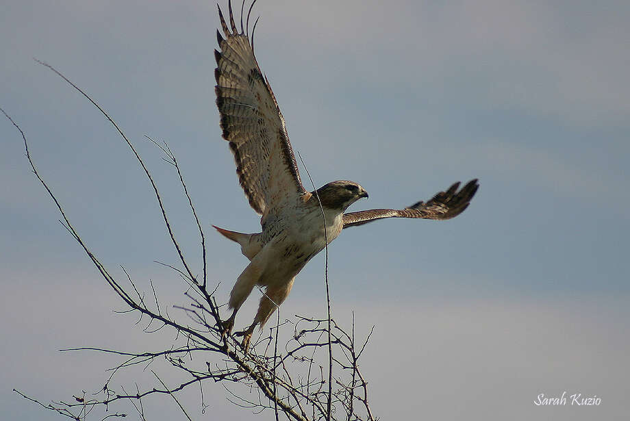 The red-tailed hawk is common on the Katy Prairie and is seen on telephone poles and trees along roads. Photo: Sarah Kuzio / Sarah Kuzio