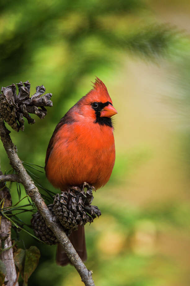 Resolve to become a more active birder in the new year. Study a common bird, such as the northern cardinal, to learn its life history. Photo: Kathy Adams Clark / Kathy Adams Clark/KAC Productions