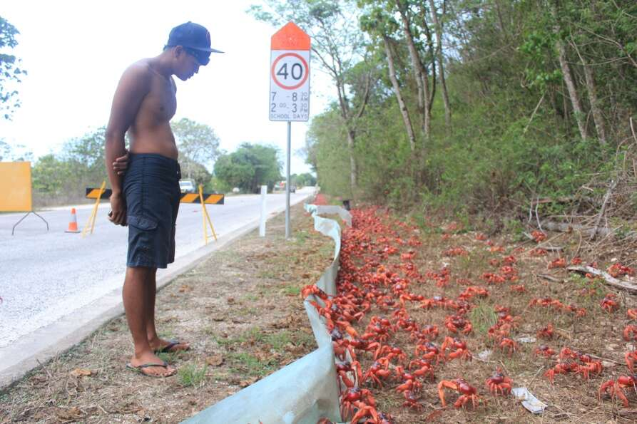 Coming through, coming through: the crabs of Christmas Island (Christmas Island Tourism Association)