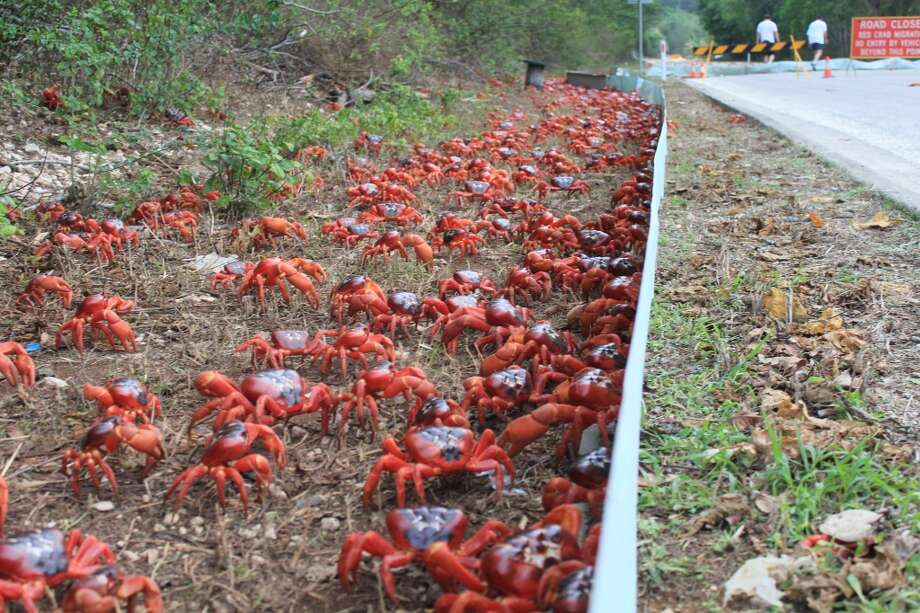 And again, more crabs... (Christmas Island Tourism Association)