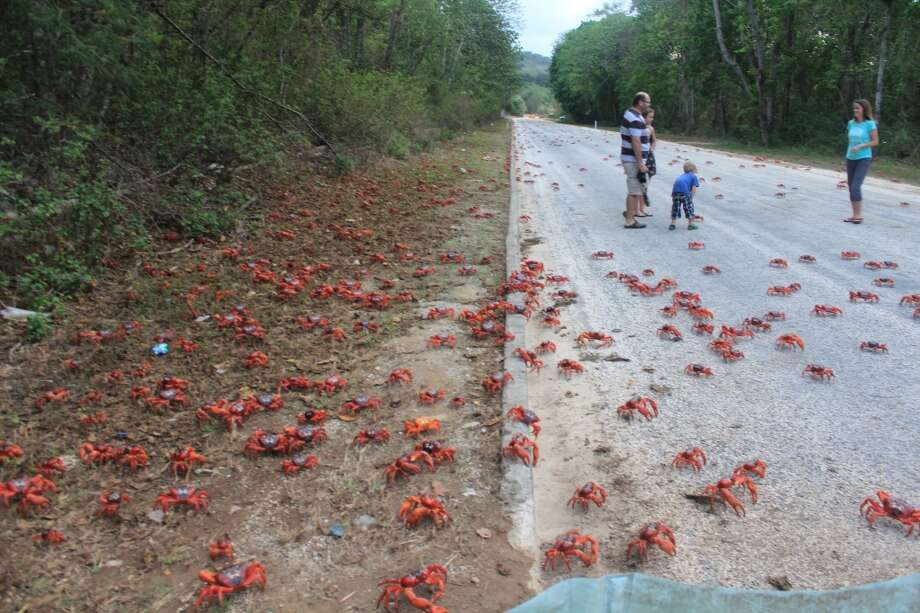 Did I mention there are 47 million of them on Christmas Island? (Christmas Island Tourism Association)