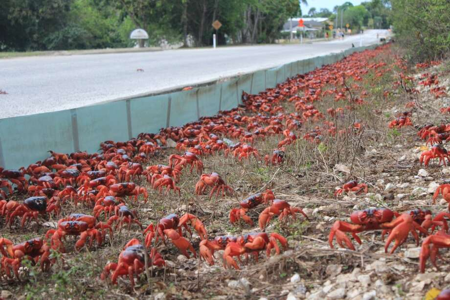 Yes, that is a lot of crabs for one small island in the Pacific. (Christmas Island Tourism Association)