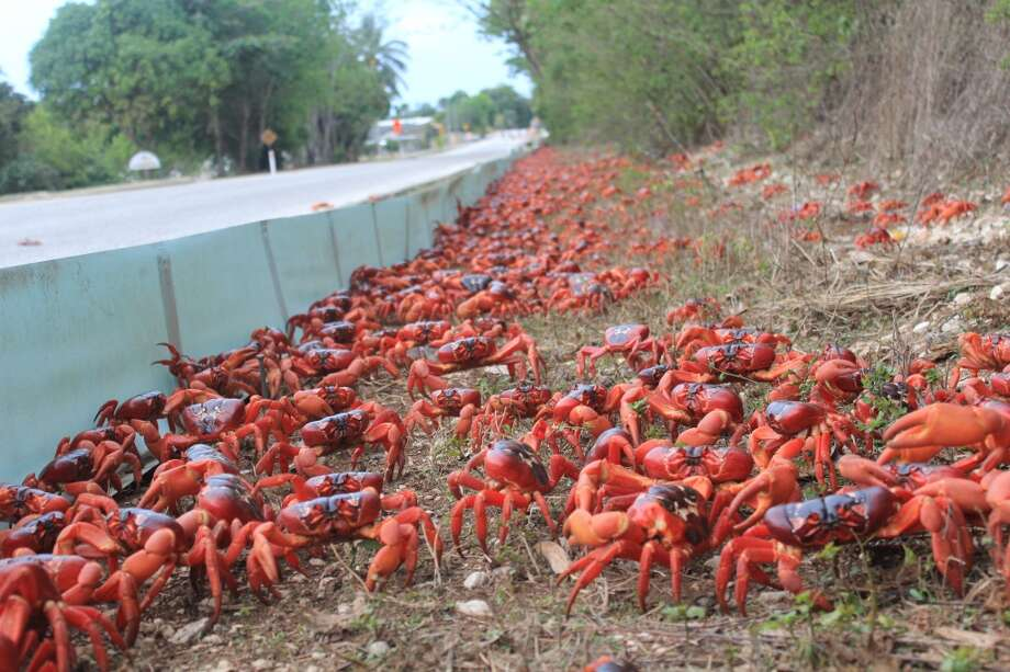 And just in case you don't believe in Christmas crabs: Here they are again. (Christmas Island Tourism Association)