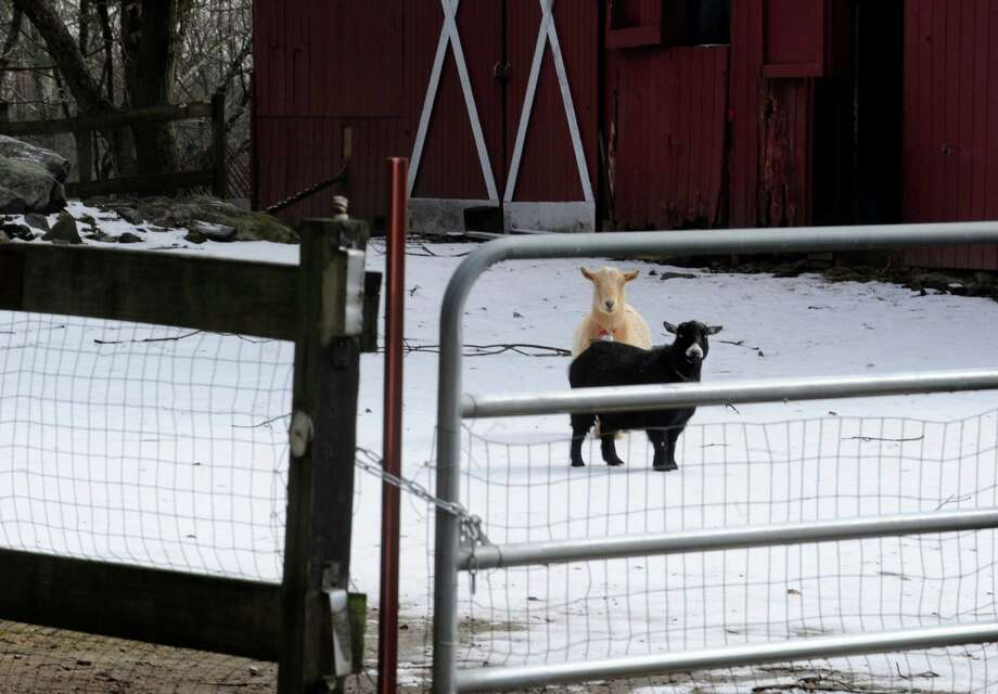 Two sheep wandering in the snow at a barn off High Ridge Road in Stamford, Conn., Tuesday, Dec. 12, 25, 2012. Photo: Helen Neafsey / Greenwich Time