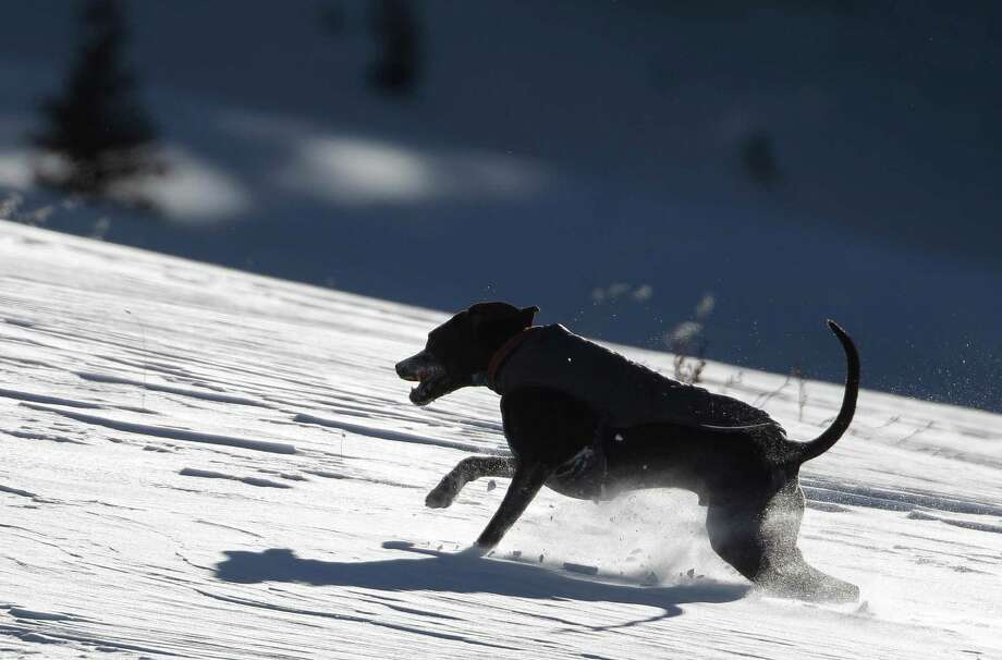 This dog seems to relish his romp through fresh snow on Berthoud Pass, near Winter Park, Colo., Thursday, Dec. 20, 2012. Photo: Brennan Linsley, Associated Press / AP