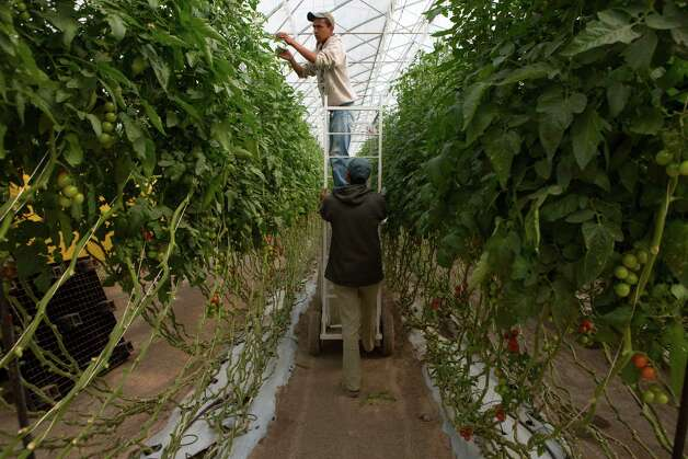 FILE -- Employees work on tomato plants at the Del Campo Supreme facility in Lagos de Moreno, Mexico, Sept. 24, 2012. Mexican farmers are finding allies on the U.S. side of the border as tomato growers in Florida and some other states battle a trade agreement that they contend allows farmers in Mexico to export below their costs. Photo: ADRIANA ZEHBRAUSKAS, New York Times / NYTNS
