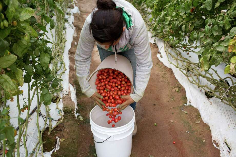 Tomatoes grown in a greenhouse are gathered at Del Campo Supreme in Lagos de Moreno, Jalisco, Mexico, Sept. 24, 2012. The Department of Commerce took steps to end a 16-year-old agreement with Mexico that makes Mexican tomatoes a bargain in American supermarkets. Photo: ADRIANA ZEHBRAUSKAS, New York Times / NYTNS