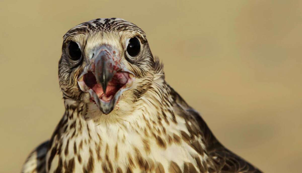 In this Thursday, Nov. 15, 2012 photo, a falcon with a bloody beak screeches after receiving a piece of meat as a reward during a training session in the outskirts of Dubai, United Arab Emirates. While the methods to develop top-quality hunting falcons date back to antiquity, its transition into a modern Middle Eastern passion has brought in microchip tagging and price tags that can run well over $10,000 for a prime bird.