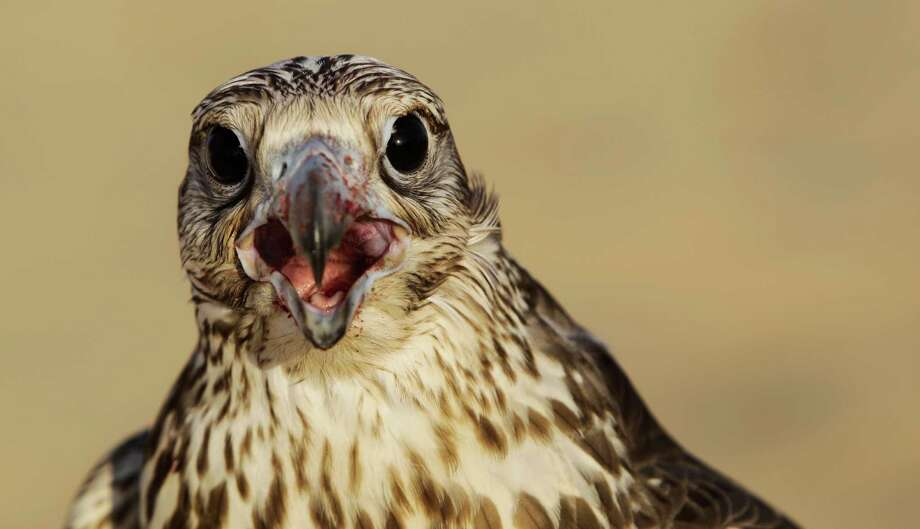 In this Thursday, Nov. 15, 2012 photo, a falcon with a bloody beak screeches after receiving a piece of meat as a reward during a training session in the outskirts of Dubai, United Arab Emirates. While the methods to develop top-quality hunting falcons date back to antiquity, its transition into a modern Middle Eastern passion has brought in microchip tagging and price tags that can run well over $10,000 for a prime bird. Photo: Kamran Jebreili, AP / AP