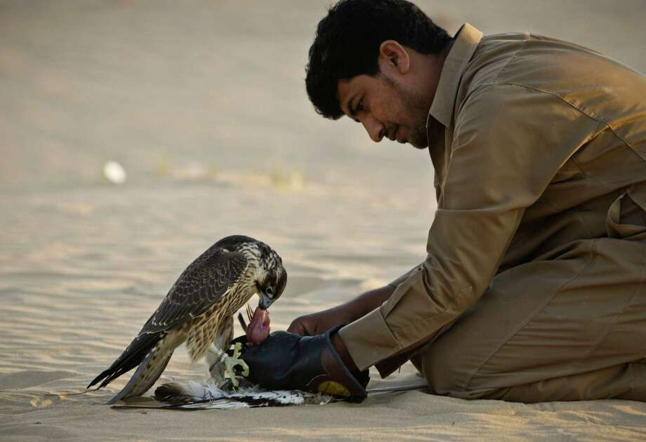 In this Tuesday, Nov. 13, 2012 photo, a falcon receives a piece of meat as a reward during a training session on the outskirts of Dubai, United Arab Emirates. While the methods to develop top-quality hunting falcons date back to antiquity, its transition into a modern Middle Eastern passion has brought in microchip tagging and price tags that can run well over $10,000 for a prime bird. Photo: Kamran Jebreili, AP / AP