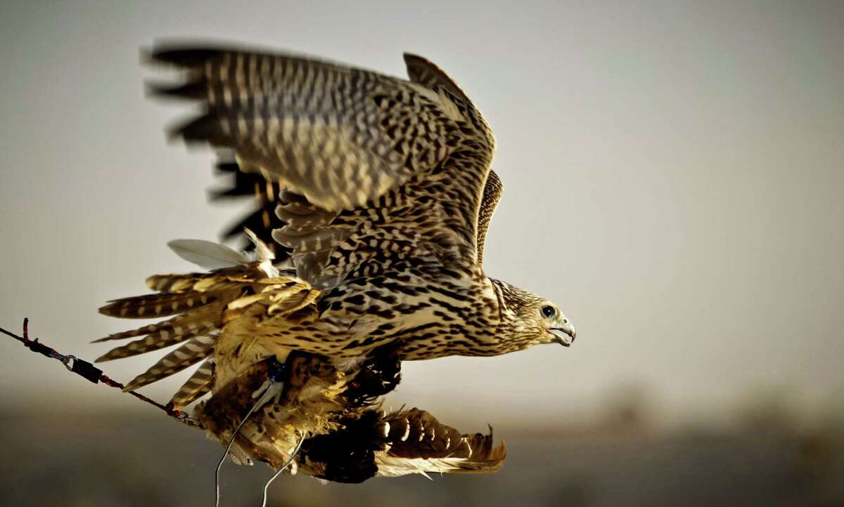 In this Thursday, Nov. 15, 2012 photo, a falcon catches a pigeon body during a training session on the outskirts of Dubai, United Arab Emirates. While the methods to develop top-quality hunting falcons date back to antiquity, its transition into a modern Middle Eastern passion has brought in microchip tagging and price tags that can run well over $10,000 for a prime bird.