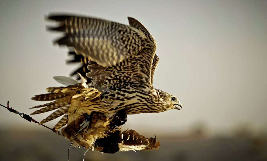 In this Thursday, Nov. 15, 2012 photo, a falcon catches a pigeon body during a training session on the outskirts of Dubai, United Arab Emirates. While the methods to develop top-quality hunting falcons date back to antiquity, its transition into a modern Middle Eastern passion has brought in microchip tagging and price tags that can run well over $10,000 for a prime bird. Photo: Kamran Jebreili, AP / AP