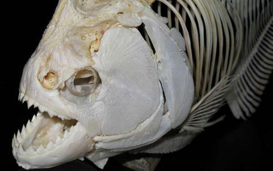 Black piranha. Photo by Steve Huskey, Western Kentucky University