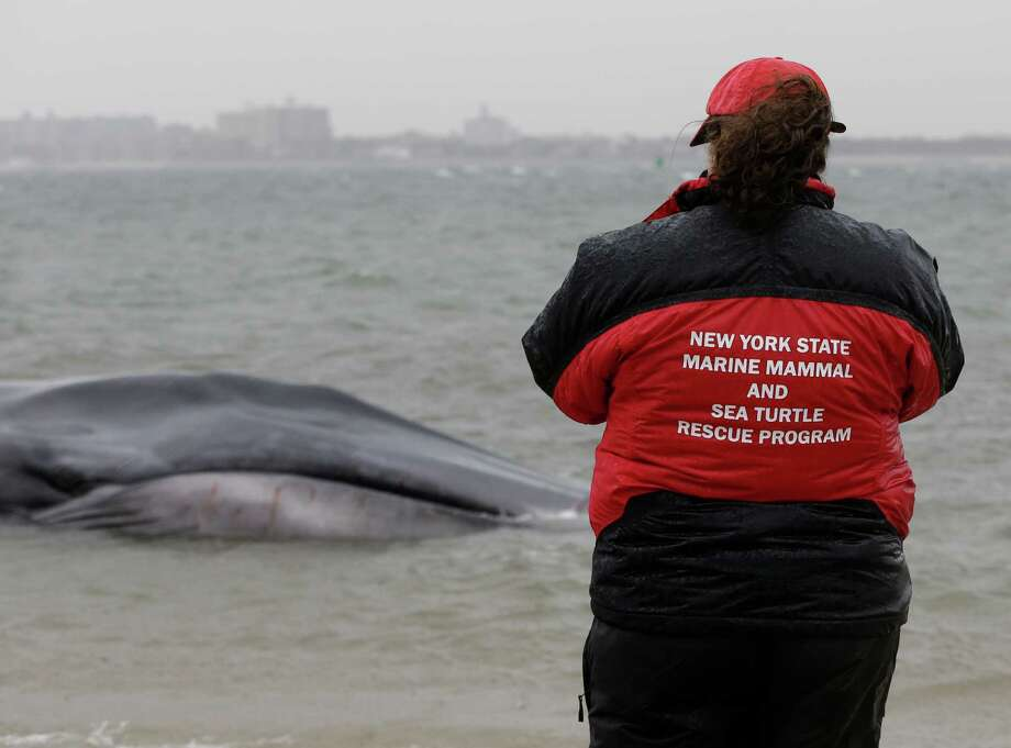 A New York State Marine Mammal expert takes a photograph of the head of an emaciated 60-foot finback whale that beached itself in the Breezy Point neighborhood of the Rockaways in New York, Wednesday, Dec. 26, 2012. Biologist Mendy Garron says it's unclear what caused the whale to beach itself, but its chances of survival appear slim. (AP Photo/Kathy Willens) Photo: Kathy Willens
