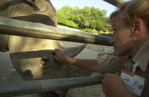 Zookeeper Bobbi Crouch scratches Gertrude to calm her in preparation for a routine blood drawing at the San Antonio Zoo a dozen years ago. At 46, Gertrude was one of the oldest white rhinos in captivity when she died this week. Photo: San Antonio Express-News File Photo / en