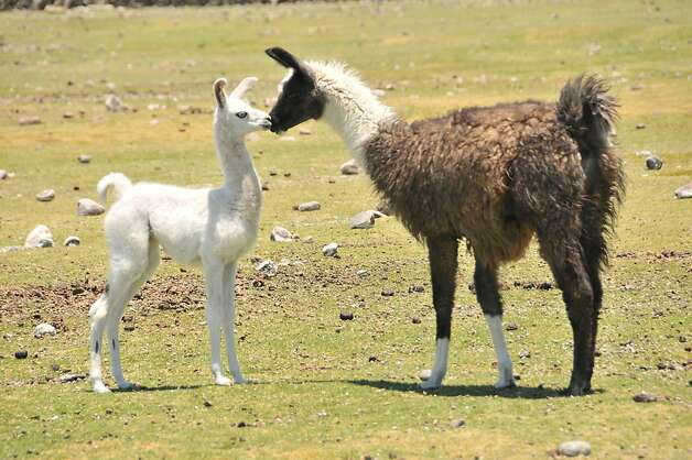 High in the Andes, shaggy llamas are a common sight and an essential, robust beast of burden. Photo: Margo Pfeiff, Special To The Chronicle