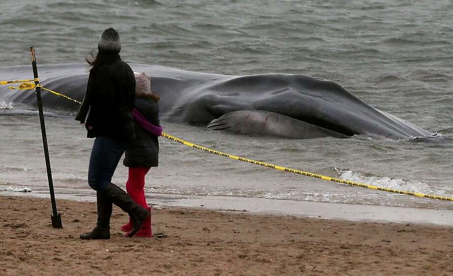 People walk past a beached whale, still alive, in the Breezy Point neighborhood on December 26, 2012 in the Queens borough of New York City.  Breezy Point was especially hard hit by Superstorm Sandy. Rescuers believe the whale will not be able to be saved. Photo: Mario Tama, Getty Images