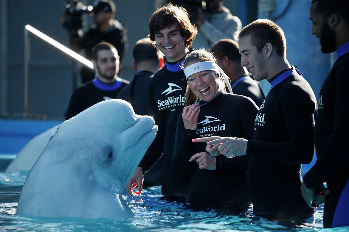 University of Texas football players including Michael Davidson, from left, Trey Holtz, and Jackson Jeffcoat with the help of senior animal trainer Meagan Medina, interact Beluga Whales including Martha, left, at Sea World in San Antonio on Dec. 26, 2012. Players from their Alamo Bowl opponent, Oregon State, also interacted with the whales.