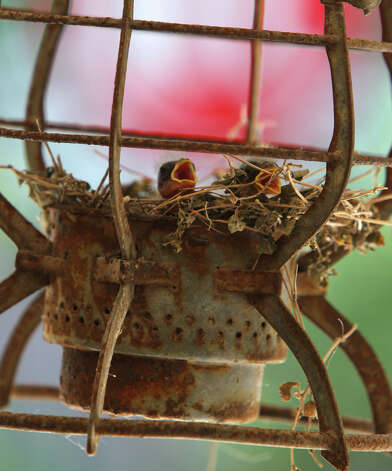 Two hungry chicks nesting Monday June 11, 2012 in a rusty old lantern on San Antonio's north side wait for their next meal. Photo: John Davenport, San Antonio Express-News