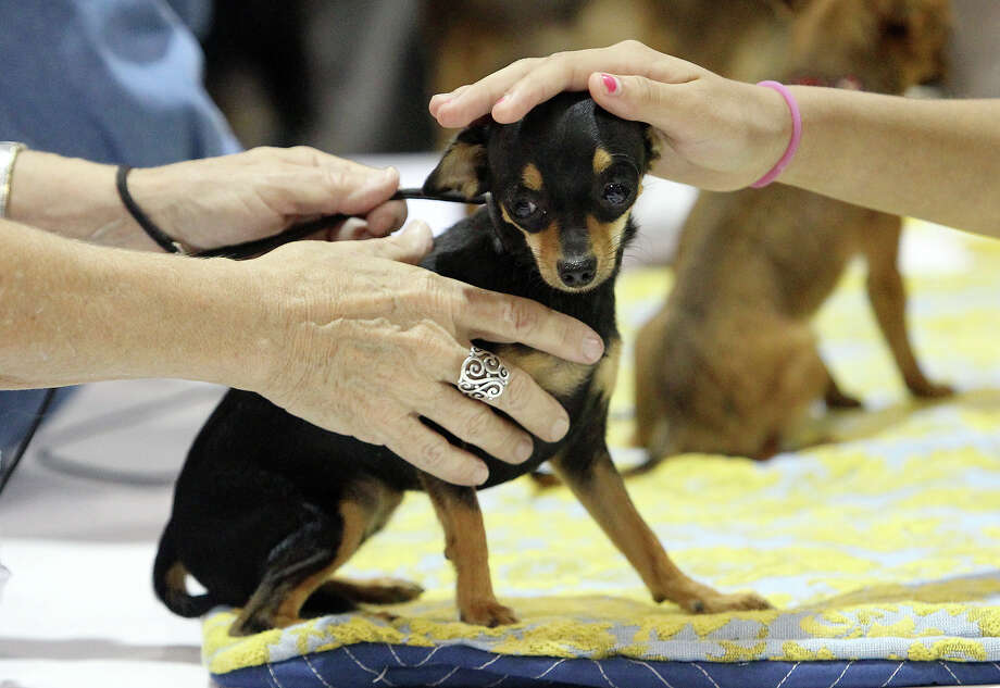 Easily mistaken for a Chihuahua, a Russian Toy gets petted during the Meet the Breeds event at the River City Cluster of Dog Shows at the Freeman Coliseum Expo Hall on Saturday, July 14, 2012. The event gives visitors to the show an opportunity to see, touch and interact with various breeds of canines at the show. Photo: Kin Man Hui, San Antonio Express-News / ©2012 San Antonio Express-News