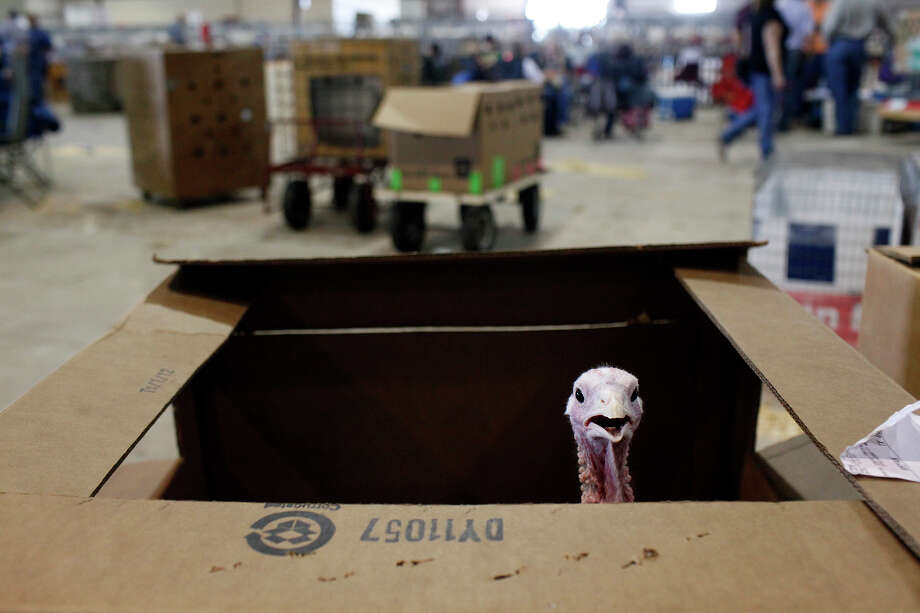 A turkey belonging to competitor Edward Scamardo, 12, of Mumford, Texas waits to be viewed during the preliminary judging for the Junior Market Turkey Show at the San Antonio Stock Show and Rodeo in San Antonio, Texas on Wednesday, Feb. 22, 2012. Photo: Lisa Krantz, San Antonio Express-News / @2012 SAN ANTONIO EXPRESS-NEWS