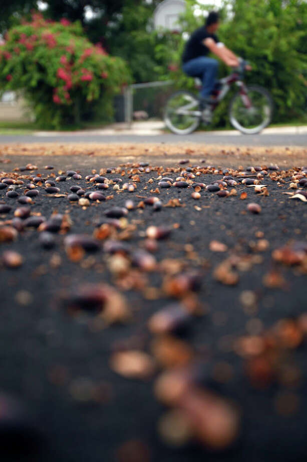 Acorns spread Tuesday morning Oct. 16, 2012 below an oak tree on Leigh Street. Despite an ongoing drought, well-timed rains have brought a bumper crop of acorns to the area Photo: William Luther / © 2012 San Antonio Express-News