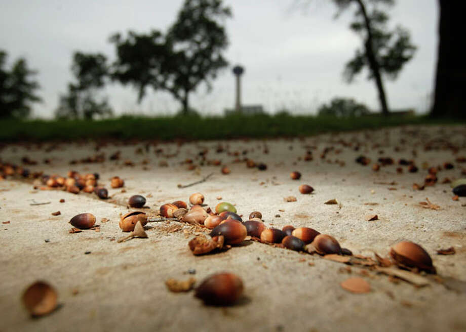 Acorns fill the sidewalks Tuesday morning Oct. 16, 2012 below an oak tree on Leigh Street. Despite an ongoing drought, well-timed rains have brought a bumper crop of acorns to the area Photo: William Luther / © 2012 San Antonio Express-News