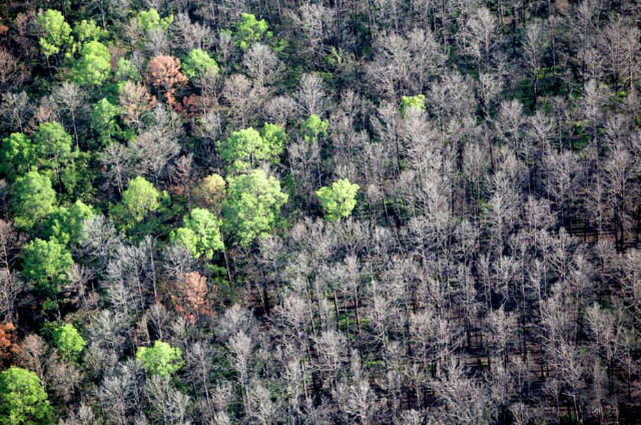 As the one-year anniversary of the The Bastrop Fire Complex fire that burned much of Bastrop State Park and the so-called Lost Pines area of central Texas approaches, the fire damaged area is seen Monday Aug 20, 2012 in an aerial image showing a few trees survived the fire. Photo: William Luther / © 2012 San Antonio Express-News