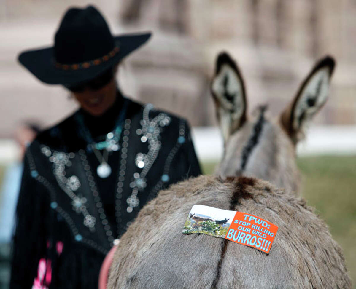 Wild Burro Protection League founder Marjorie Farabee's donkey wears a bumper sticker Wednesday Jan. 18, 2012 outside the capitol in Austin after Farabee delivered a petition to the governor's office asking him to order the Texas Parks and Wildlife Department to stop killing wild burros in Big Bend Ranch State Park.