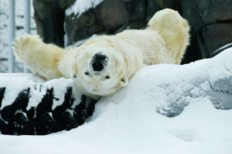 Lyutyik, one of two polar bears at the Alaska Zoo in Anchorage, Alaska, rolls in snow and yawns in h
