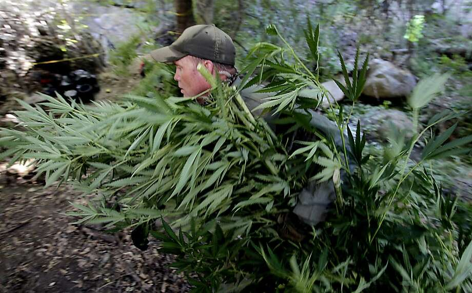 A game warden hauls marijuana plants out of a wooded ravine and into a clearing near Kernville. Photo: Luis Sinco, McClatchy-Tribune News Service