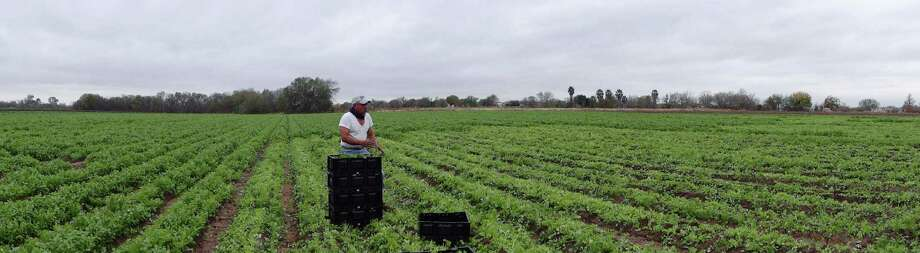 Antonio Garcia gathers cilantro at Constanzo Farms in Atascosa, Texas, on Dec. 14, 2012. The field is dependent on irrigation water from Medina Lake. Because there is no more irrigation water left in Medina Lake, the vegetable farm is now being irrigated with measured water being pumped from the Edwards Aquifer. This picture is a panoramic made in camera. Photo: Billy Calzada, San Antonio Express-News / © 2012 San Antonio Express-News
