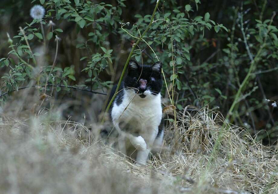 One of the feral cats common along the Bay Trail from San Mateo County to San Jose prowls in Coyote Point park. Photo: Lance Iversen, SFC