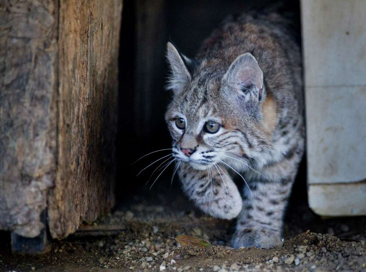 The agency killed 646 bobcats in the 2013 budget year.