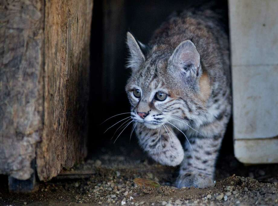"""A Northern California animal rescue group is trying to help """"Chips,"""" an orphaned bobcat kitten with a problem: She's too nice. She was a few weeks old when she was found in August by crews battling a forest fire. Photo: Randall Benton, MBI / The Sacramento Bee"""