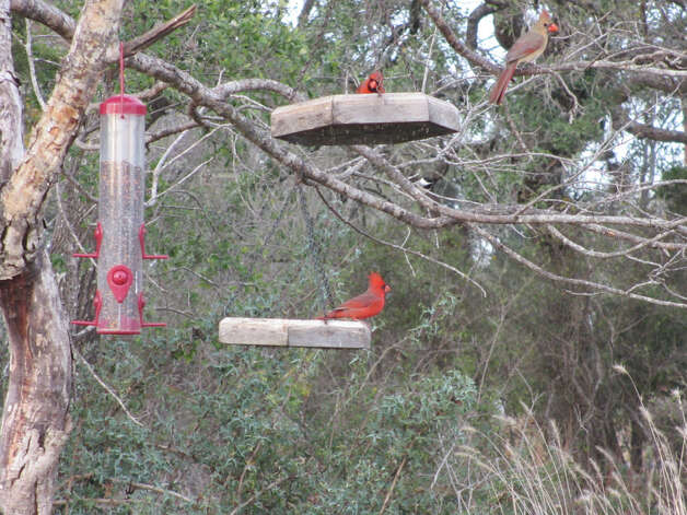 Three cardinals dine at the feeders near the parking lot at the Old Tunnel State Park. (Terry Scott Bertling / San Antonio Express-News)