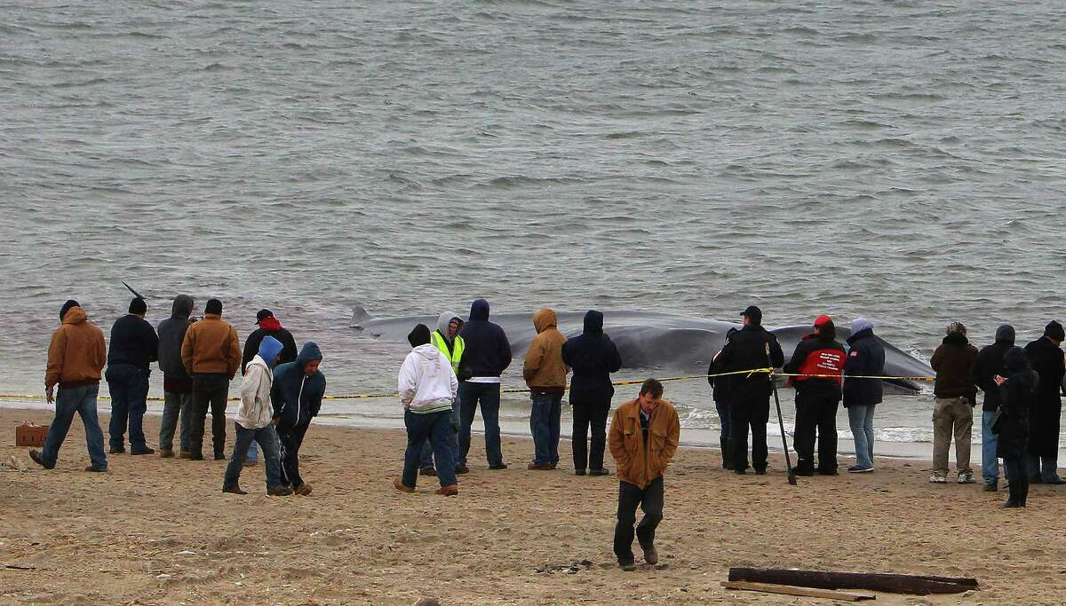A 60-foot fin whale, washed up on the Jamaica Bay beach at Breezy Point, in the Queens borough of New York, Dec. 26, 2012. An emaciated fin whale about weighing perhaps 60 or 80 tons beached itself Wednesday morning, and appeared near death, said experts who were preparing to try to euthanize it. (Chang W. Lee/The New York Times)