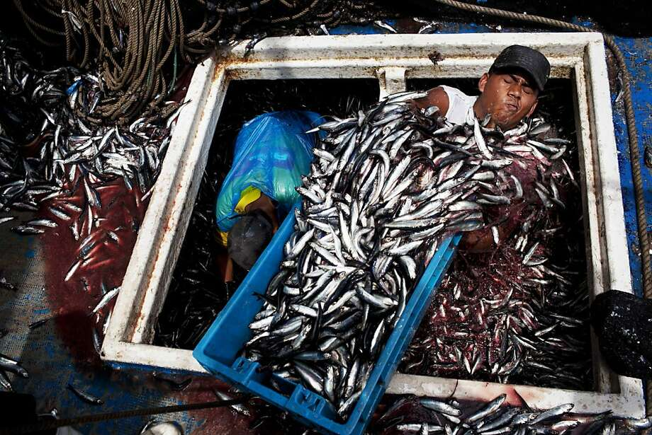 """In this Dec. 7, 2012 photo, Marvin Vega unloads a crate of anchovies from the holding area of a """"boliche,"""" the Peruvian term for boats that are used by fishermen who fish with nets, at the port of El Callao, Peru. Development of the Peru's largest and oldest port undertaken by a global shipping industry giant based in the Netherlands, will expand port operations over the next couple of years. Many fishermen fear the modernization of the port may have a negative impact on their livelihood. Photo: Rodrigo Abd, Associated Press"""