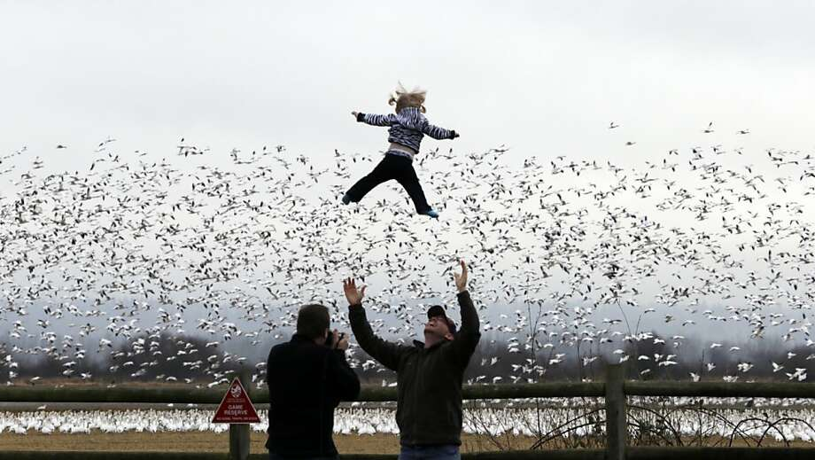 Cody Mooney tosses his daughter, Willow, 17 months, in the air as snow geese take flight behind Thursday, Dec. 27, 2012, in the Skagit Valley near La Conner, Wash. Bird watchers took advantage of a day without rain Thursday to gaze at some of the tens of thousands of snow geese that spend the winter near the mouth of the Skagit River there. The geese migrate from their mating grounds in Alaska and Siberia in late November to spend the winter in wetlands and farm fields of the Skagit Valley and other areas of northwest Washington. Photo: Elaine Thompson, Associated Press