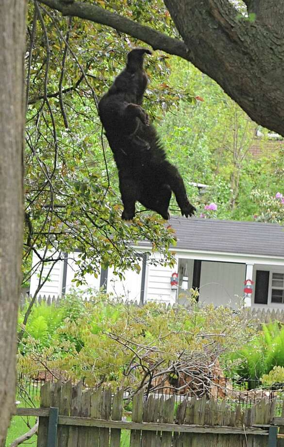 """LORI VAN BUREN:My shift was almost over last May when I got the call about a bear in a tree in        the Stockade section of Schenectady. I quickly drove over there and was        able to identify the location by a growing crowd of people staring and        taking photos through the space between two houses. I saw my colleague,        Mike Goodwin, who had been jogging nearby and informed me that we might        be able to knock on the door to one of the houses and get a better view        from inside. So we tried, and a woman let us in and up the stairs. She pointed at a small window, and out we climbed onto a flat part        of the roof. Nice! We had a great exclusive view of the bear. Well, it        soon wasn't so exclusive. Just about every journalist in the area        followed our lead, and we were surrounded by cameramen on top of a roof        that we didn't even know was safe. Even Assemblyman James Tedisco        climbed out that small window to join us for a better view. After        waiting unsuccessfully for the bear to come down on its own, officials        on the ground decided to tranquilize the bear. A shot went off. Got it!        Now the bear climbed higher. The journalists and the crowd gasped. After a little while, a second shot went off. Got it! The bear        climbed higher in the tree. People yelled """"No, don't go higher!"""" More        time went by and a third dart hit the bear. Again the bear climbed        nearly to the top of the tree without his heavy body breaking a fragile        limb. Luckily, I was on my stomach using my arms and elbows as a tripod.        Otherwise, my arms would have been extremely tired from holding my        camera with a long lens up to my eye. Then it happened, ever so        silently, then a thud. This was the first time I had had to photograph        this situation. Six days later, I was shooting a different bear up a        tree in North Greenbush. Photo: Lori Van Buren / 00017650A"""